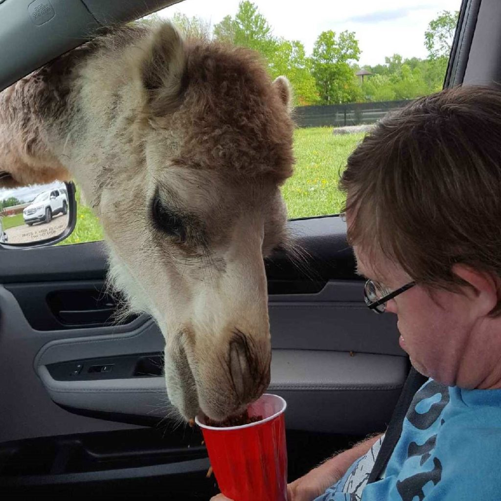 An adult man with disabilities sitting in the front seat of a car, feeding a camel out of a red plastic cup.